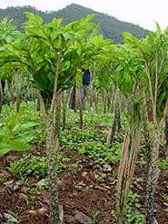konjac-plant